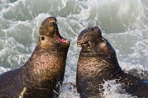Evolutionary bottleneck: The tens of thousands of Northern Elephant Seals today share genetic material from just a few ancestors